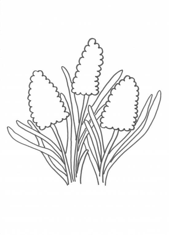 Kleurplaat Tulp Narcis Hyacint Archidev